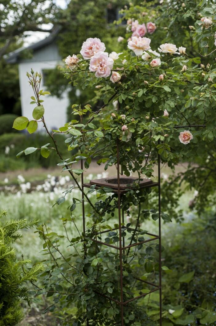 Klätterros New Dawn i Ulla Molins trädgård i Höganäs