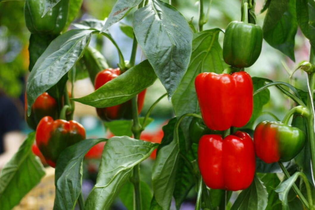 Röd paprika som fortfarande växer.