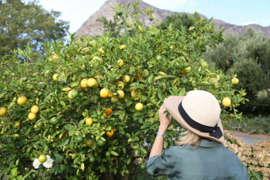 Marie Sammeli står med ryggen mot kamernan vid ett citrusträd i Sydafrika.
