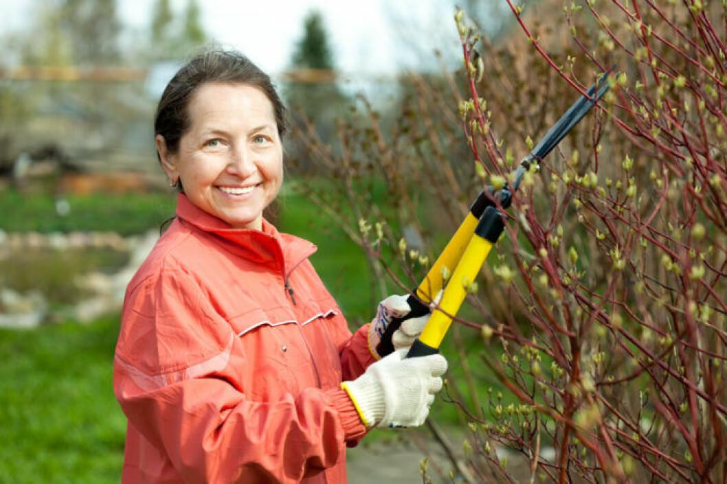 kvinna klipper bort döda grenar från buske