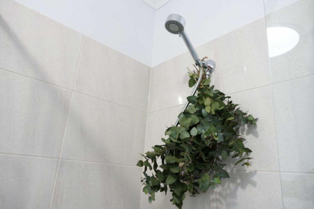 Eukalyptus i duschen lidrar höstförkylningen