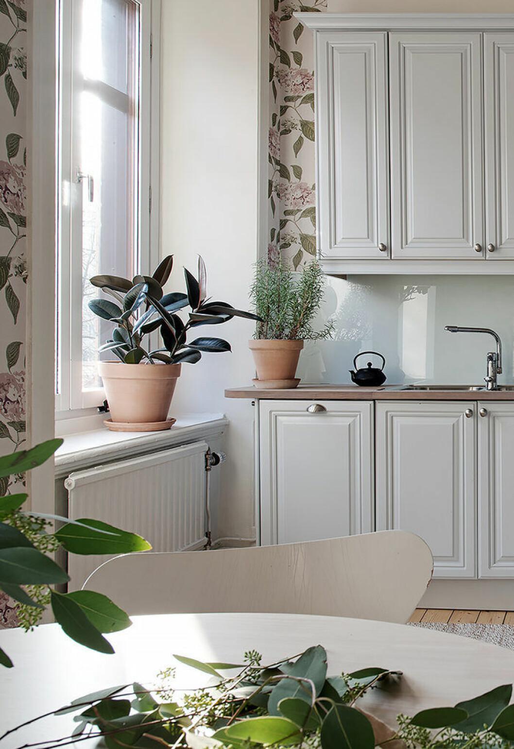 Fönsterfikusen är en fin växt i alla hemmets rum