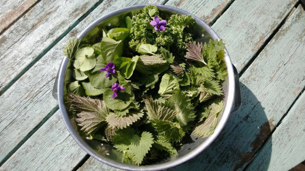 A metal bowl of foraged edible flowers and plants from the home garden of nettles, violets, spinach on a vintage wooden table in the sunshine in Summer.