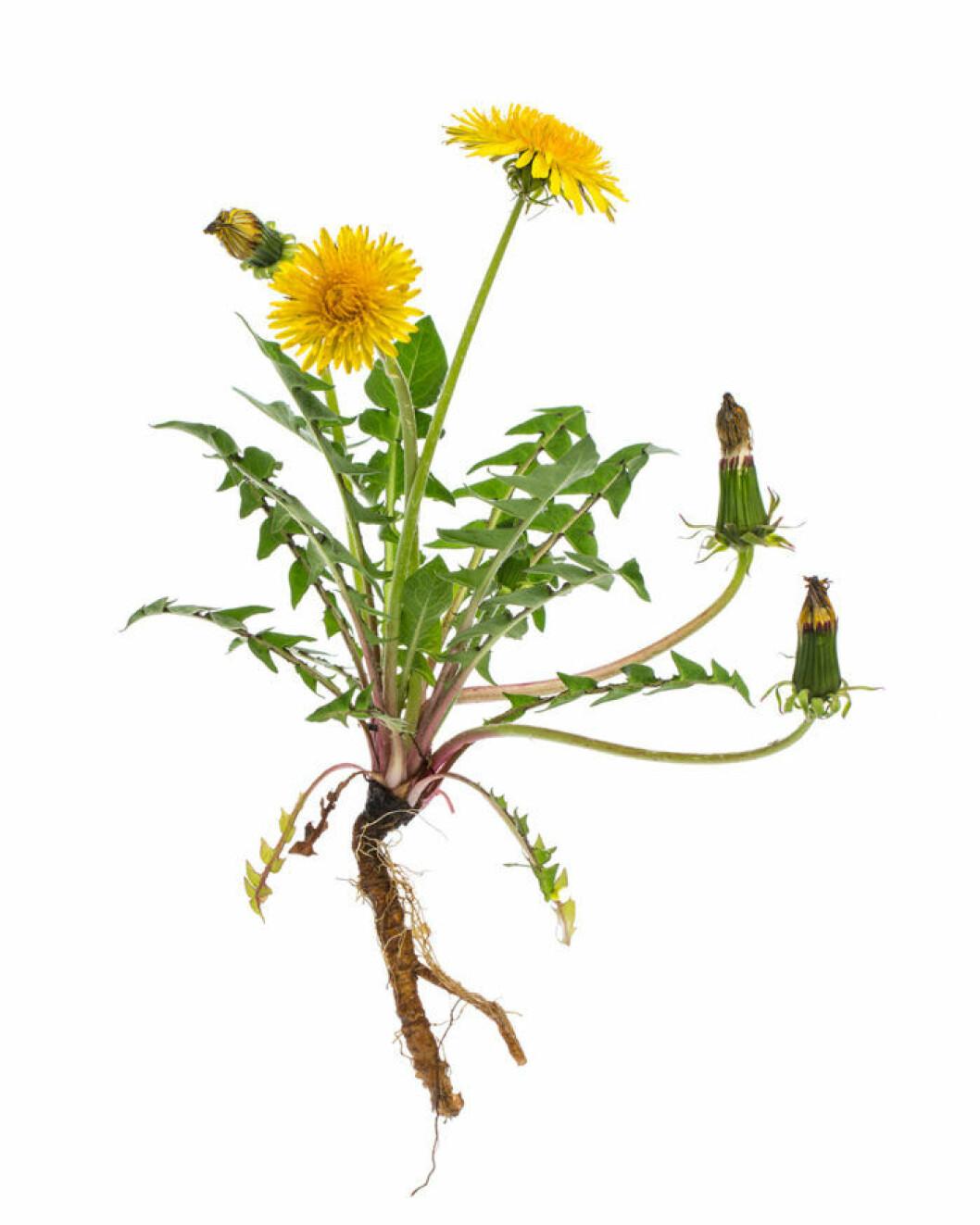 Maskros med rötter, blad, knoppar och utslagna blommor.