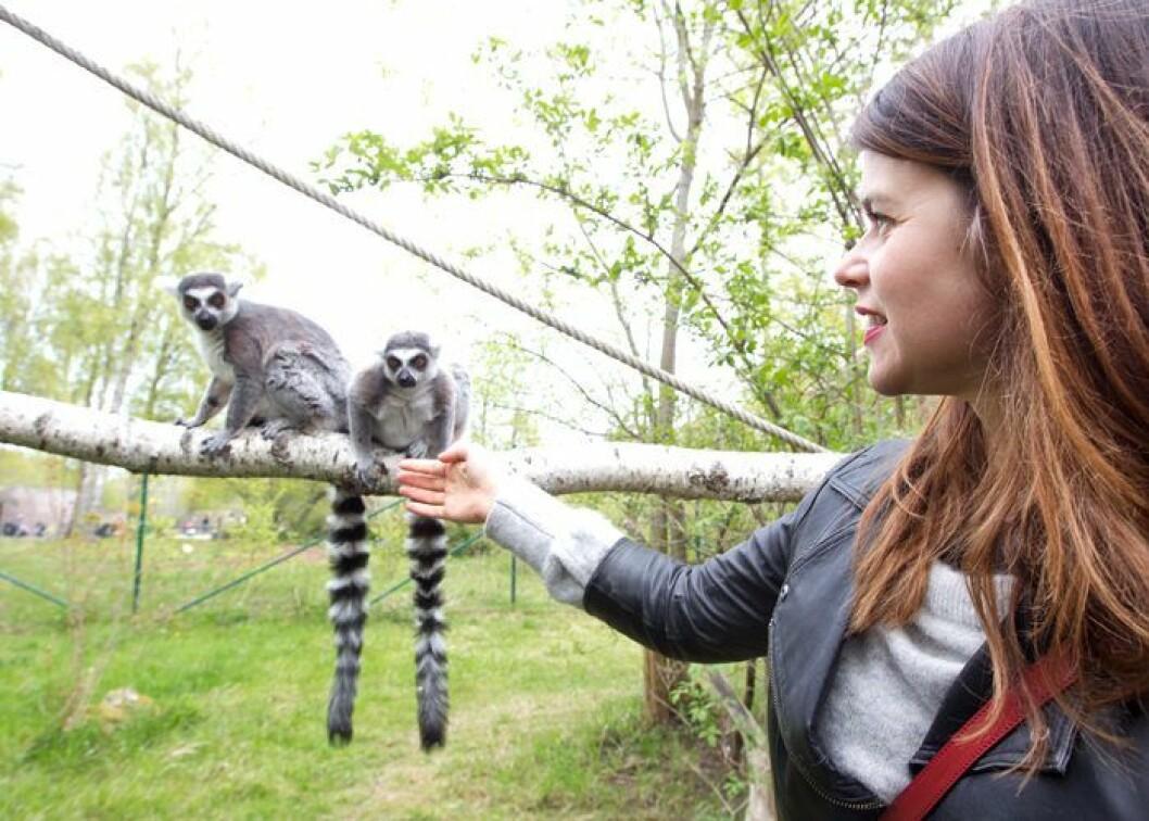 Lemurer Furuviksparken.