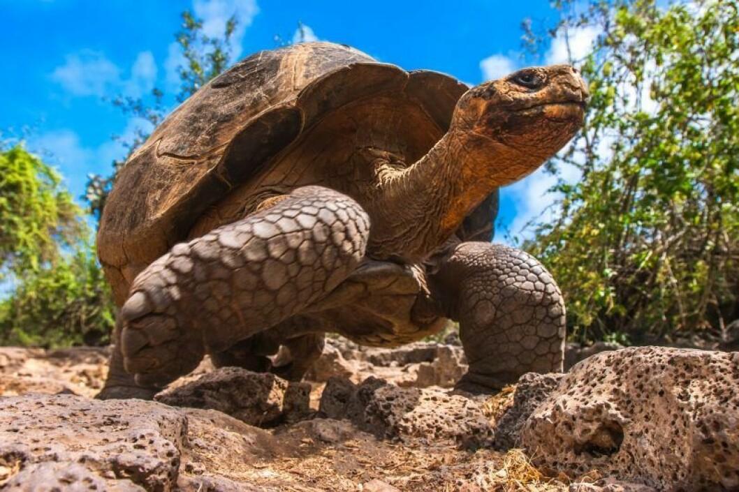 en sköldpadda