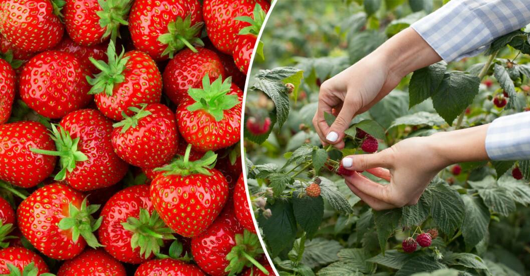jordgubbar och hallon