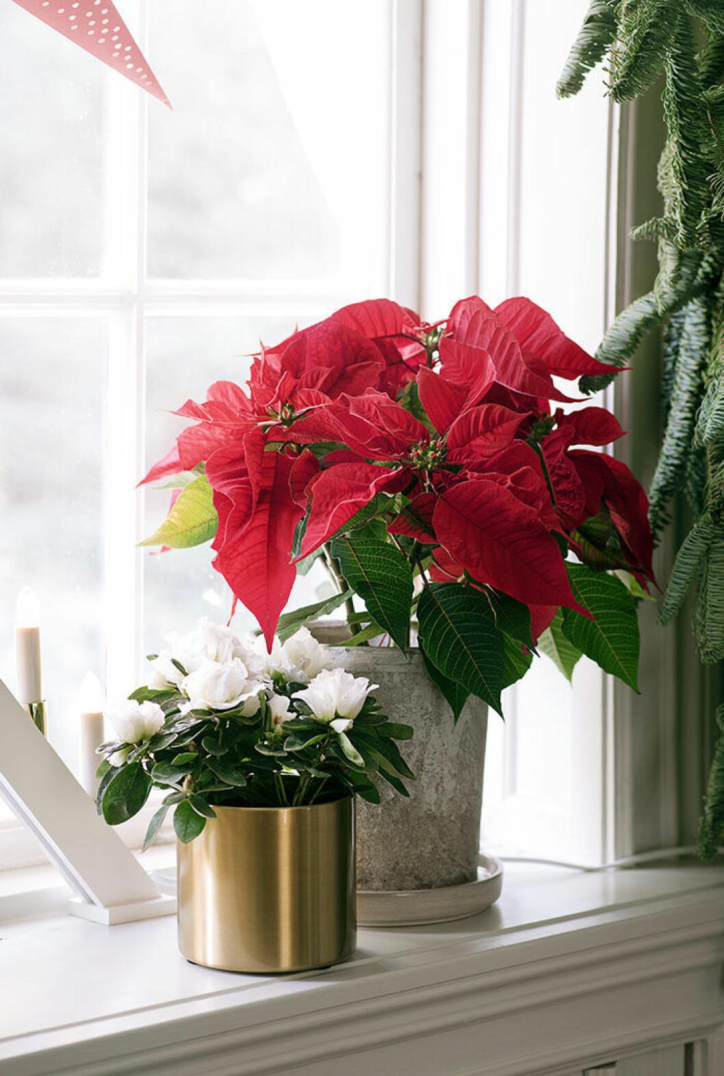 Julstjärnan och amaryllisen är julens populäraste blommor även 2019
