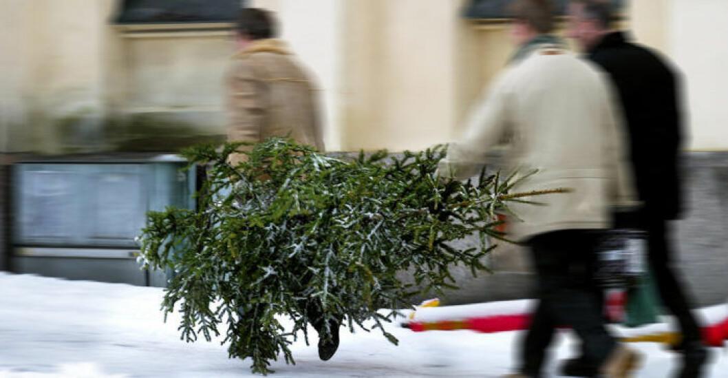 I kommun efter kommun har folkstormen handlat om den lokala, fula, julgranen.
