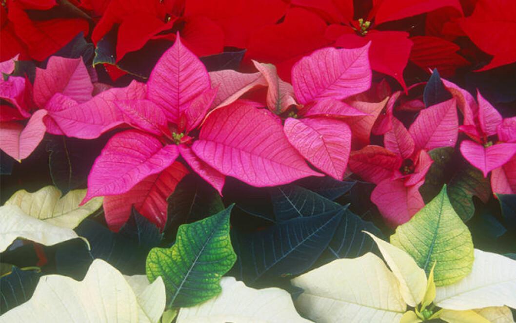 Röd, vit och rosa julstjärna som är välskötta.