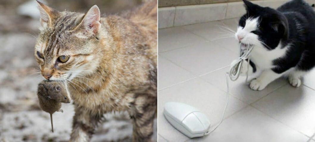 katt-mus