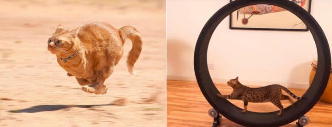 katt-springa