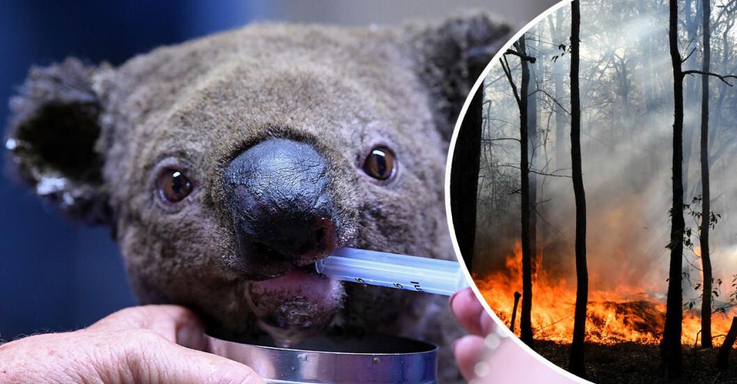 så kan du rädda djurlivet i Australien