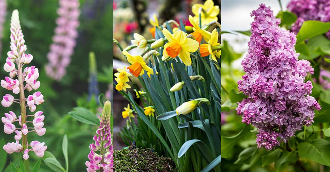 Populära trädgårdsväxter såsom lupin, påskliljor och syrener kan komma att förbjudas.