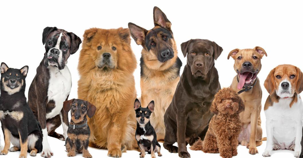 mix av hundar