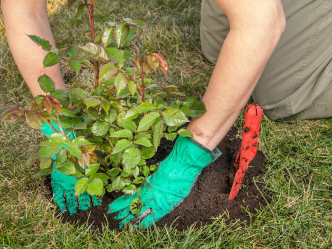 Kvinna planterar en rosbuske.