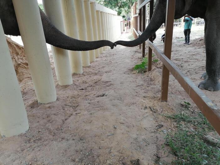 Världens ensammaste elefant Kaavan med ny vän i Kambodja