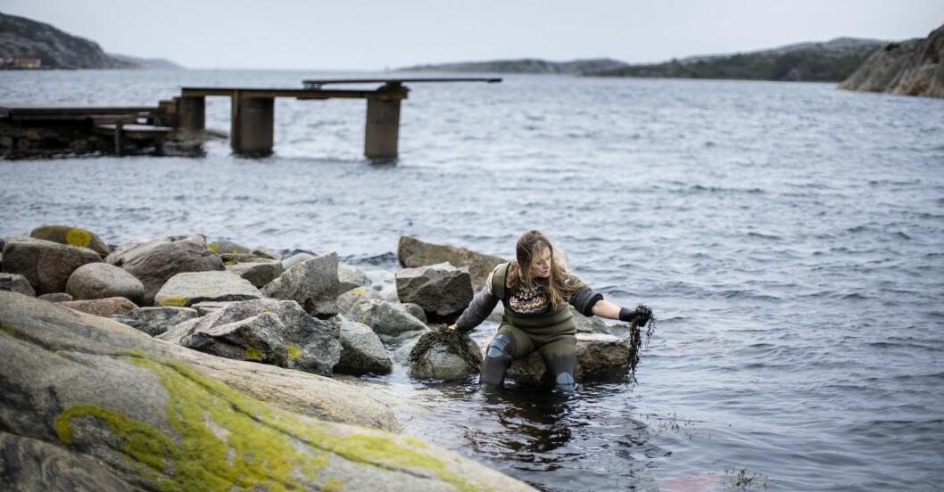 Linnéa Sjögren anordnar tångsafari utanför Grebbestad.