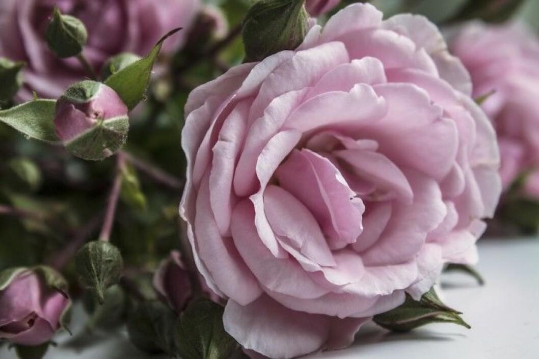 skotselrad-rosor