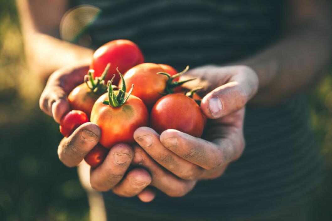 Jordiga händer håller i färska tomater i solnedgång.