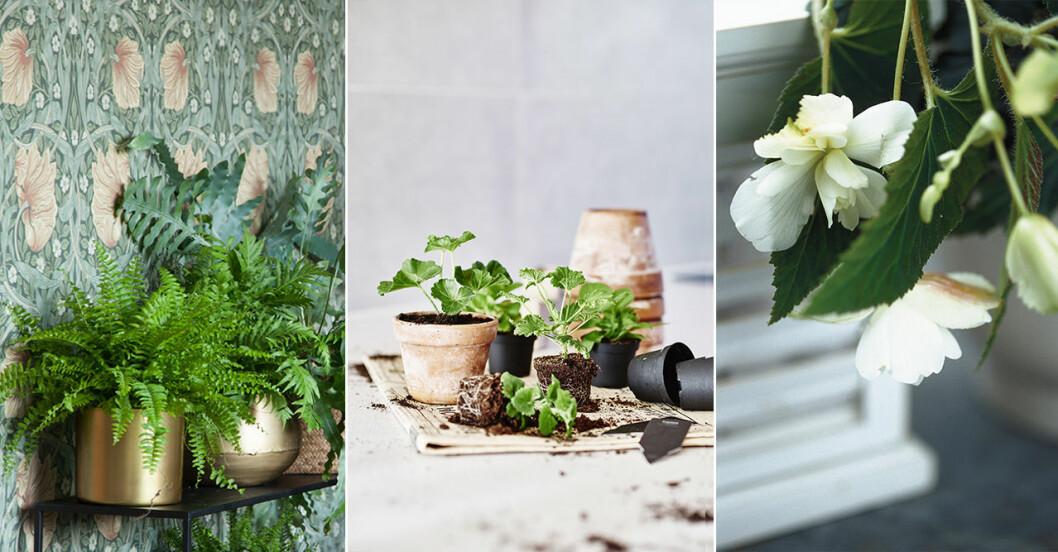 ormbunke och begonia är heta växter 2019.