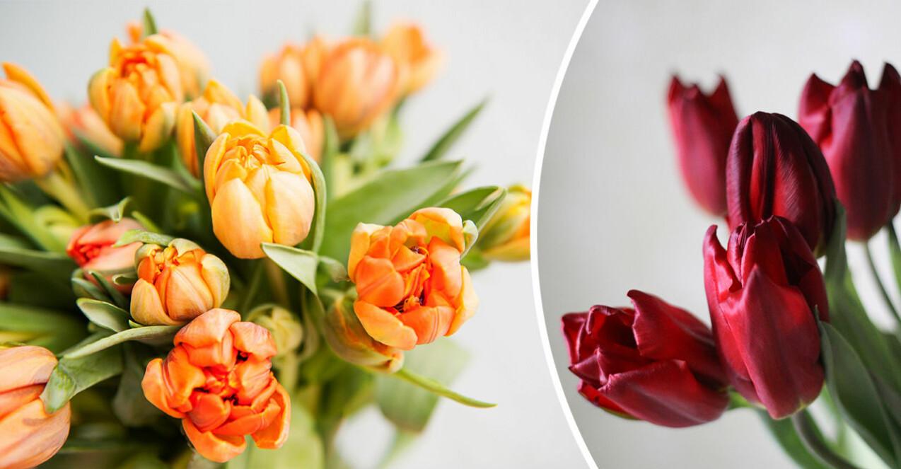 orangea och röda tulpaner