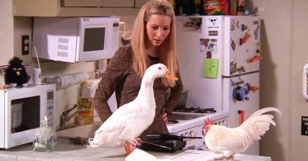vänner kyckling anka