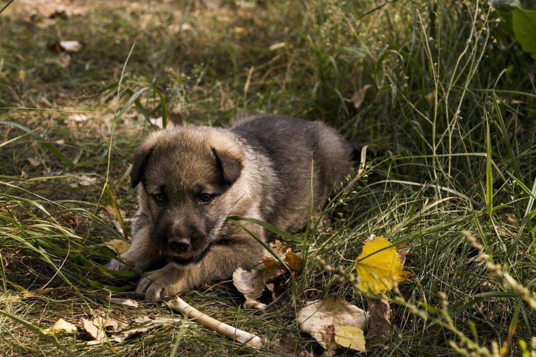 Airbnb djurupplevelser i Tjernobyl - ta hand om övergivna valpar och hundar