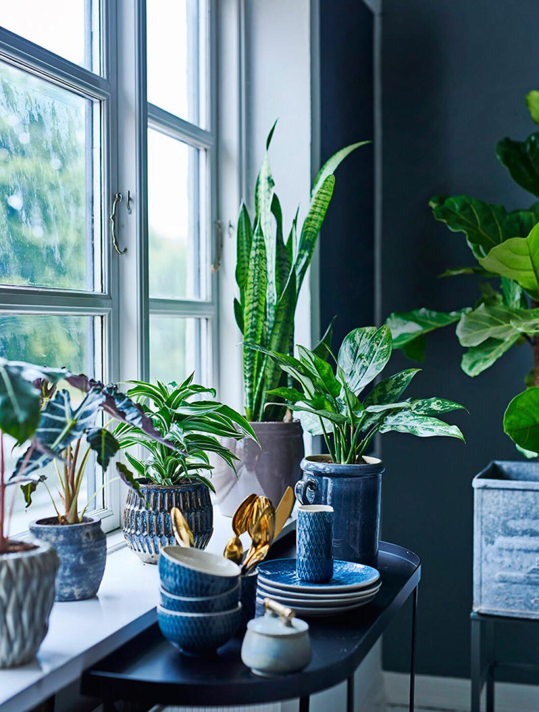 krukväxter som renar inomusluften