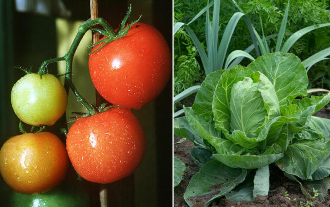 Tomat och kål är växter som trivs ihop.