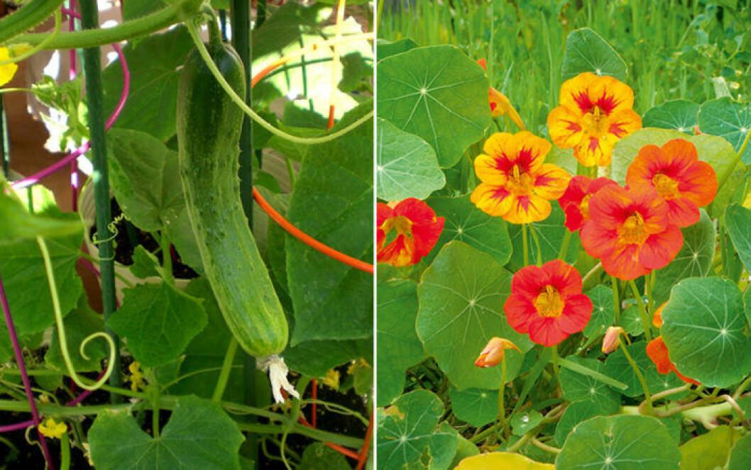 Gurka och krasse är växter som trivs ihop.