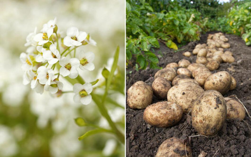 Strandkrassing och potatis är växter som trivs ihop.