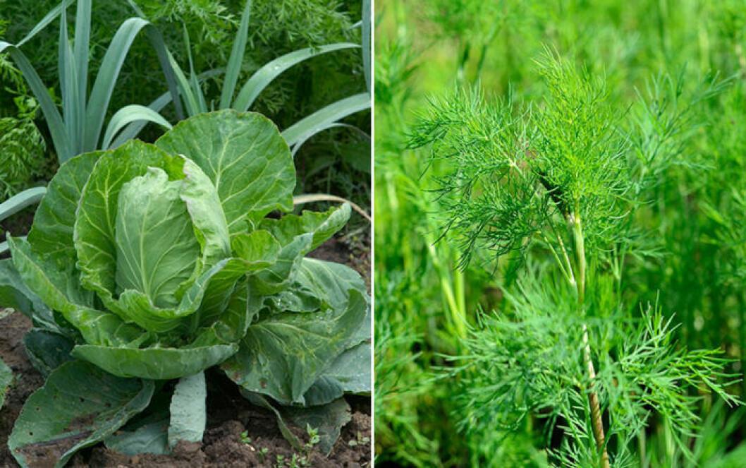 Kål och dill är växter som trivs ihop.