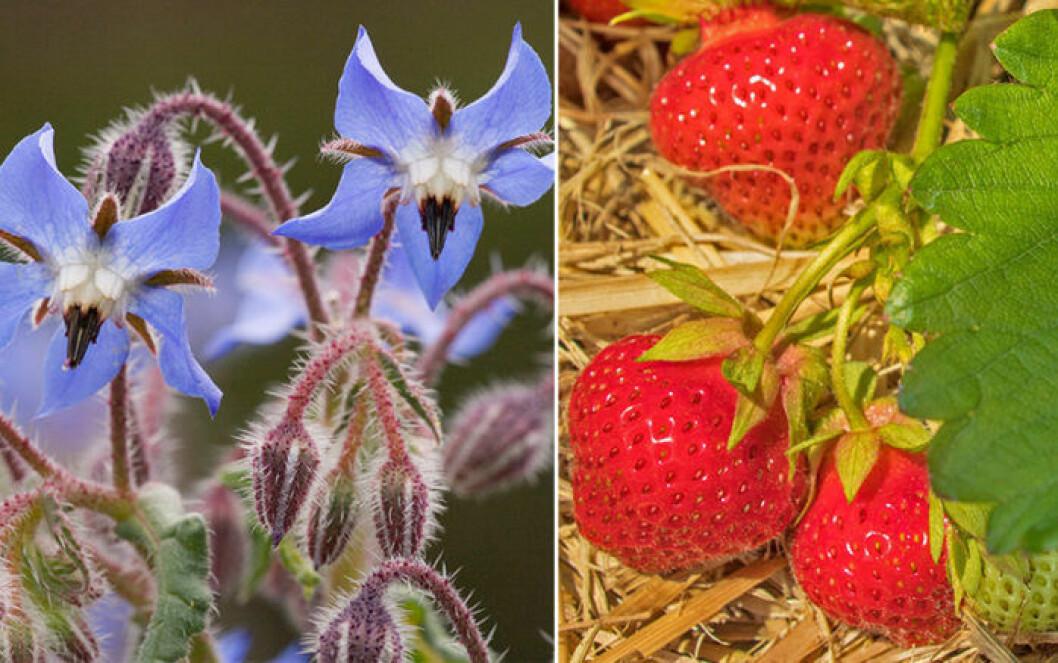 Gurkört och jordgubbar är växter som trivs ihop.
