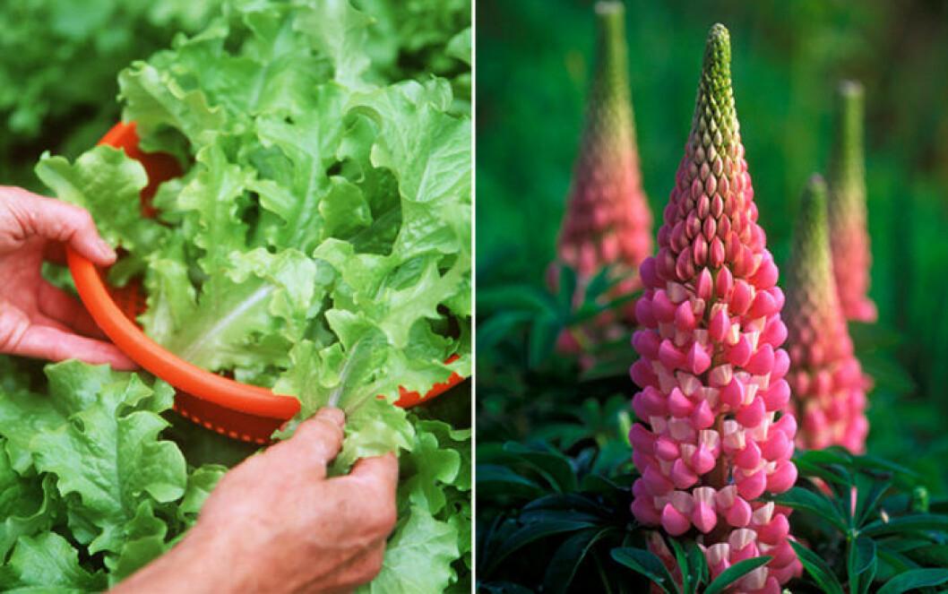 Sallad och höga blommor som exempelvis lupiner är växter som trivs ihop.