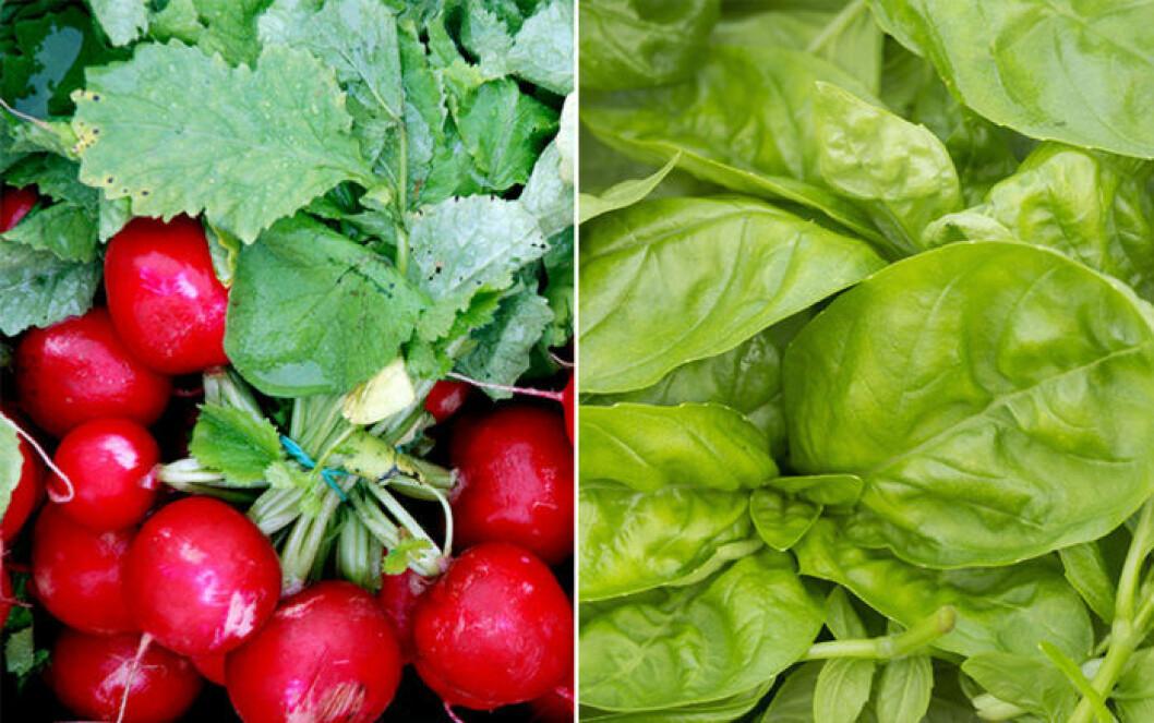 Rädisor och spenat är växter som trivs ihop.