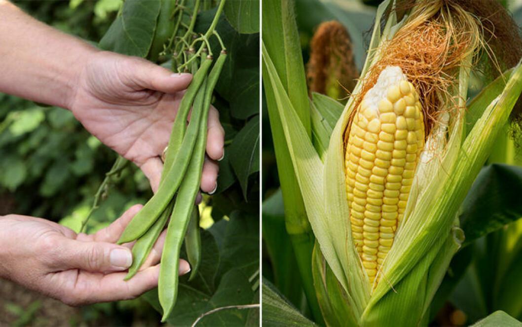 Bönor och majs är växter som trivs ihop.