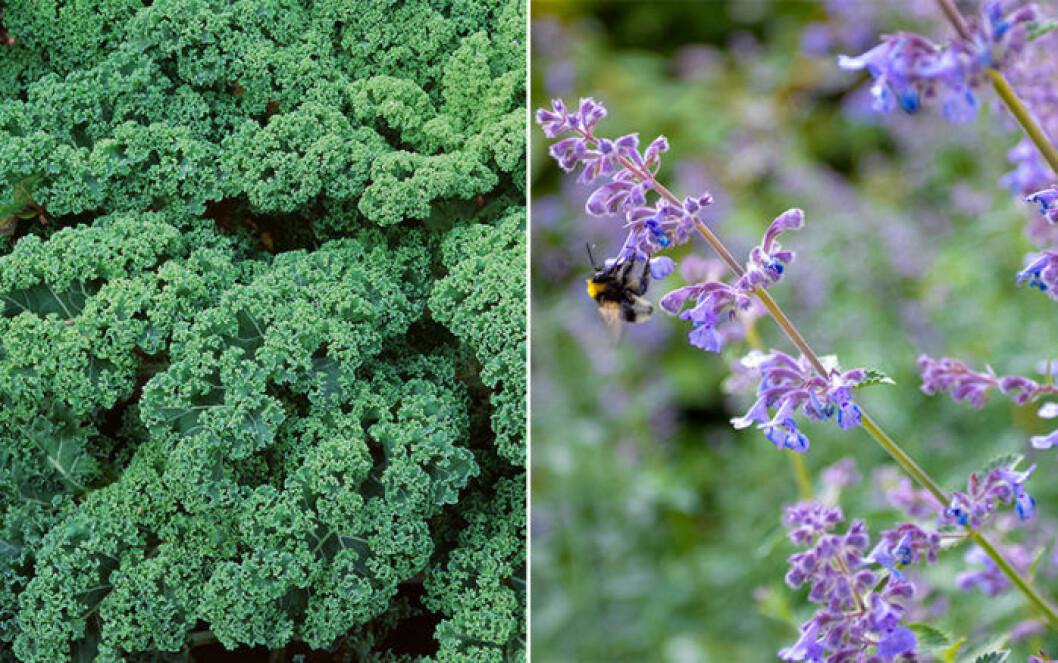 Kål som grönkål och kattmynta är växter som trivs ihop.