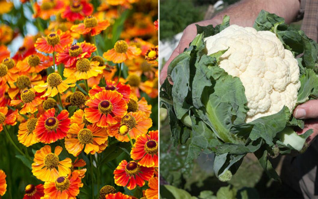 Dvärgzinnia och blomkål är växter som trivs ihop.